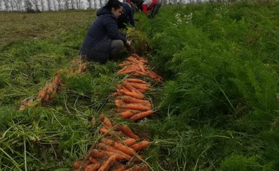Работа в сельскохозяйственных отрядах в ПК «Ольговское»